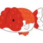 らんちゅうの稚魚に最適な餌はミジンコ?らんちゅうの繁殖について