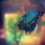 ベタの稚魚の生き餌ミジンコなどの長所と短所は?ベタの繁殖について