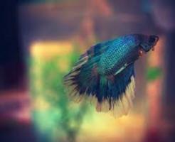 ベタ 稚魚 ミジンコ 餌 繁殖