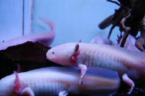 ウーパールーパー 稚魚 ミジンコ