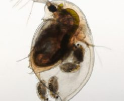 ミジンコ 繁殖 室内 方法